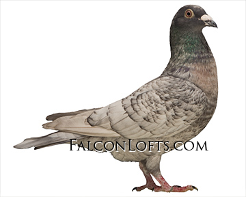 Falconlofts.com home of rare colored racing homers