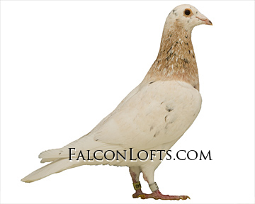 ash red almond rare colored racing homer pigeon