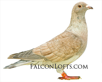 reduced pigeon