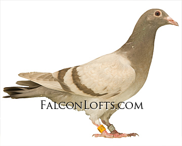 how to train homing pigeons