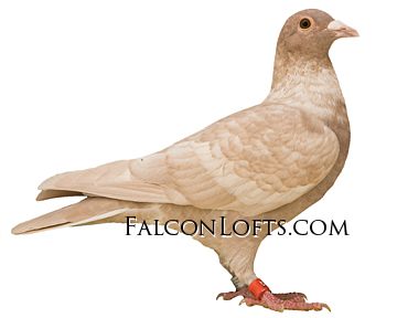 rare colored pigeon homing