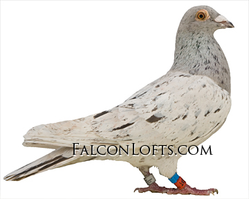 spread dilute ash red homer pigeon