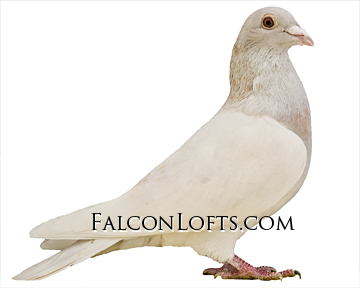 ash red dilute falcon lofts