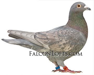 Dom opal spread rare color pigeon