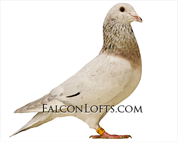 qualmond rare colored racing pigeon