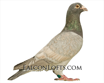 reduced racing pigeon